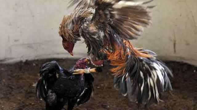 Situs Judi Sabung Ayam Indonesia